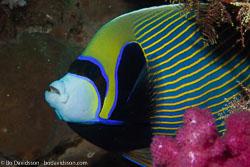 BD-141011-Komodo-4246-Pomacanthus-imperator-(Bloch.-1787)-[Emperor-angelfish.-Äkta-kejsarfisk].jpg